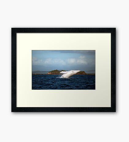 Migaloo in action... Framed Print