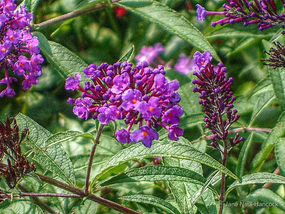 Tiny Purple Petals by Jane Neill-Hancock