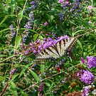 Swallowtail In The Gardens by Jane Neill-Hancock