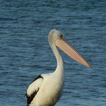 Perfect Pelican 1 by petey59