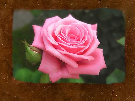 Pink Roses in Anzures 4 Blank P3F0 by Christopher Johnson