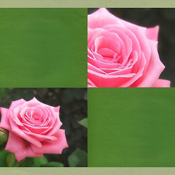 Pink Roses in Anzures 4 Blank Q5F0 by TravelPhotoArt