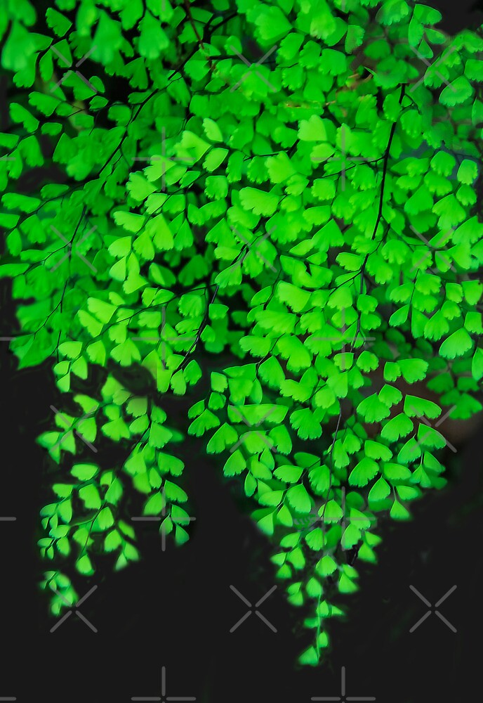 Maidenhair Fern by Heather Friedman