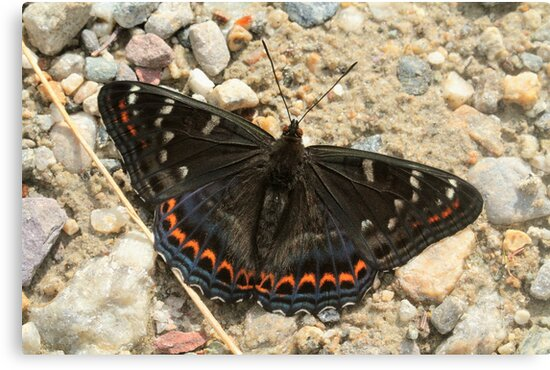 Poplar Admiral butterfly on mountain path, Bulgaria by Michael Field