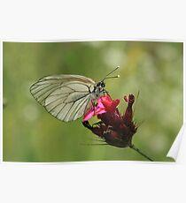 Black-Veined White Butterfly, Rila Mountains, Bulgaria Poster