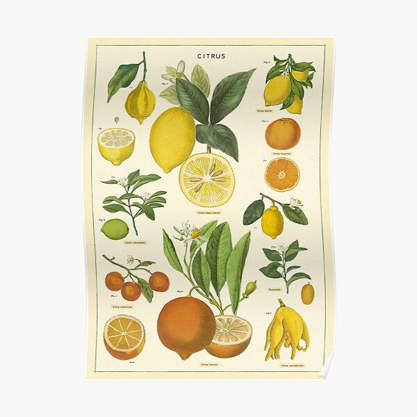 Lemon and Orange Vintage Botanical Chart Poster