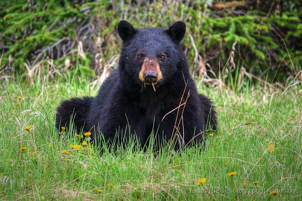 Bear Stare by James Anderson