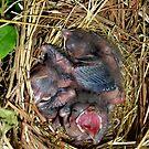 Baby Red Birds by WildestArt