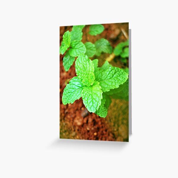 Fresh Mint Greeting Card
