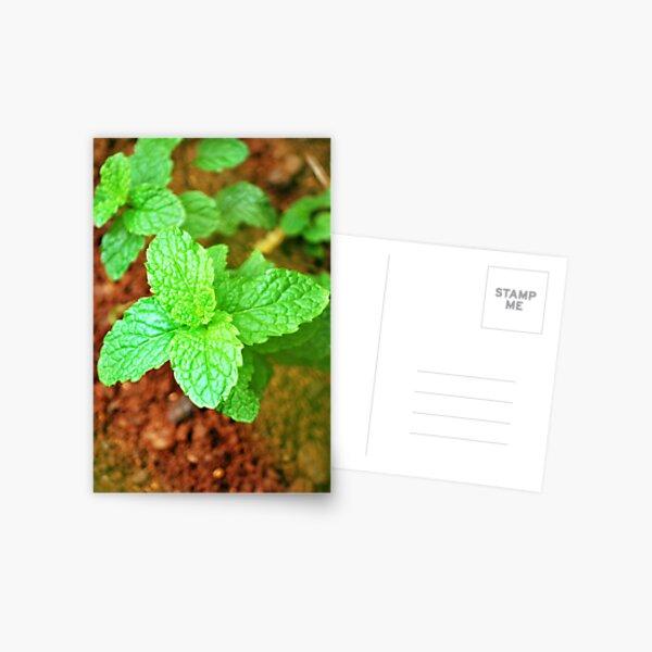Fresh Mint Postcard
