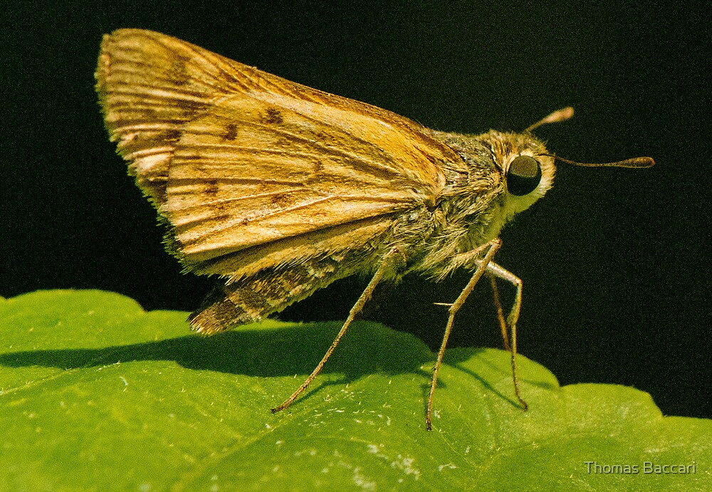 Brown Moth Up Close by TJ Baccari Photography