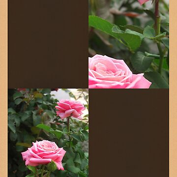 Pink Roses in Anzures 5  Blank Q3F0 by TravelPhotoArt