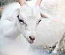 Ninny, Nanny Nancy Goat by MarjorieB