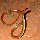 Orange Naped Snake , Furina ornata -   Orminston Gorge - Northern Territory by john  Lenagan