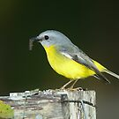""" Eastern Yellow Robin  Marlo Vic. ""  by helmutk"