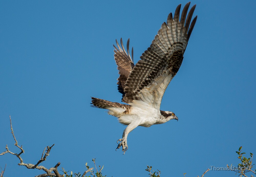Osprey Taking Off From The Tree Tops by TJ Baccari Photography