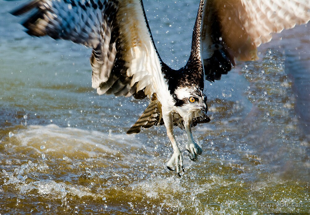 Osprey's Water Strike by TJ Baccari Photography