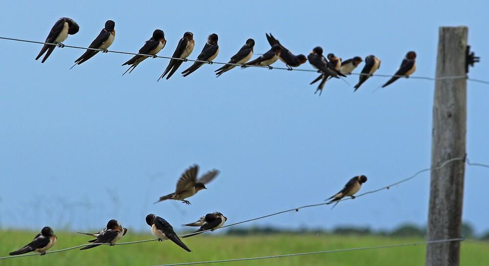 birds on a wire by cliffordc1