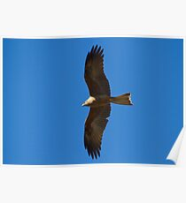 Fork-tailed Kite Poster