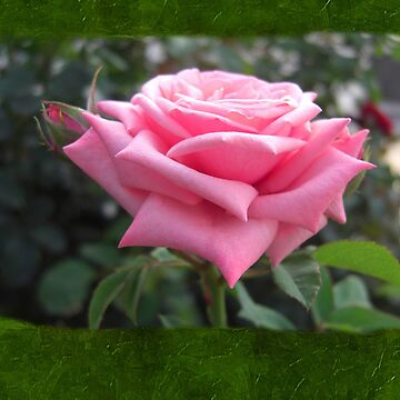 Pink Roses in Anzures 6 Blank P1F0 by TravelPhotoArt