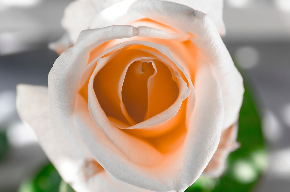 White N Orange Rose by Sotiris Filippou
