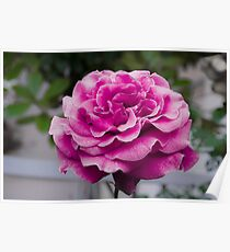 Roses are Pink Poster