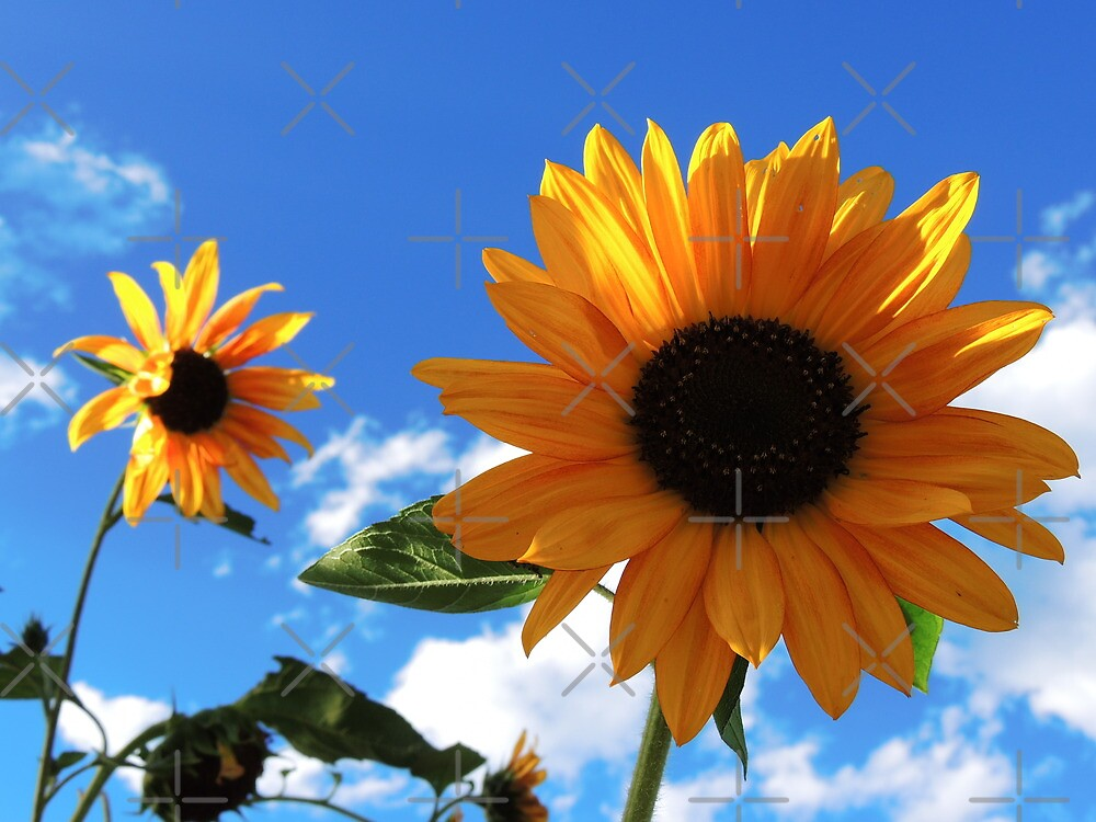 Sunflower Sky by Betty  Town Duncan