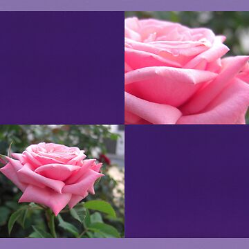Pink Roses in Anzures 6 Blank Q9F0 by TravelPhotoArt