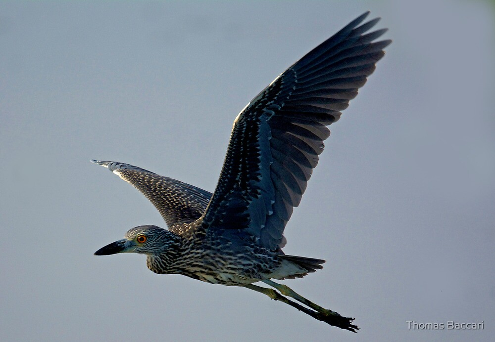 Night heron in flight - photo#44