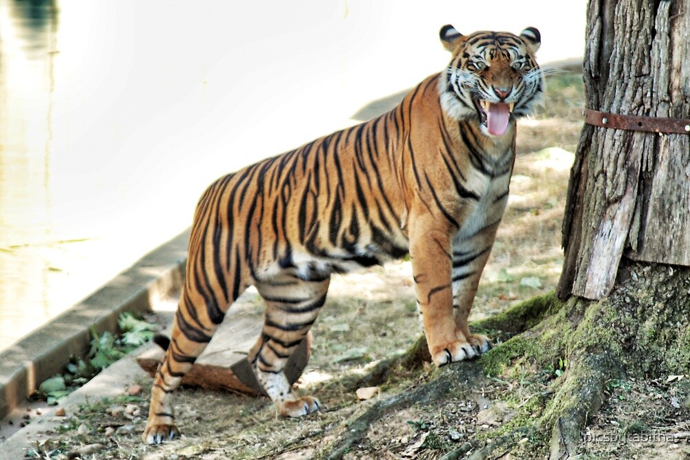 Tiger Snarling by picsbytabitha