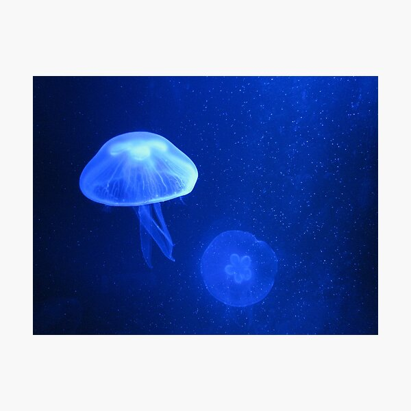 Blue Jellyfish Photographic Print