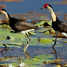 Jacana's by Sue  Fellows