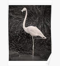 Flamingo, pose and click Poster