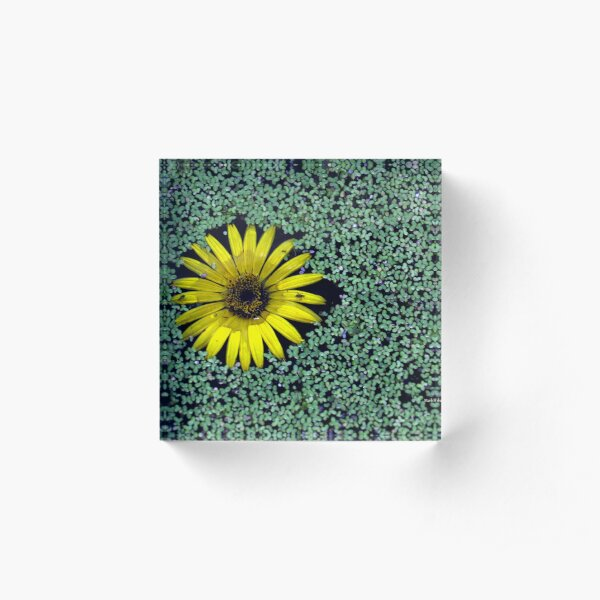 Yellow Flower in Duckweed with Three Little BUGS Acrylic Block