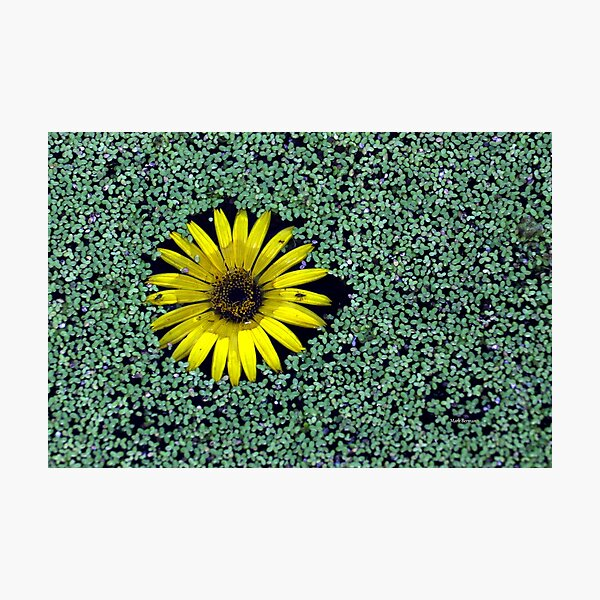 Yellow Flower in Duckweed with Three Little BUGS Photographic Print
