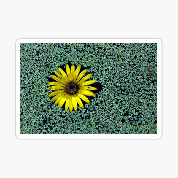 Yellow Flower in Duckweed with Three Little BUGS Sticker