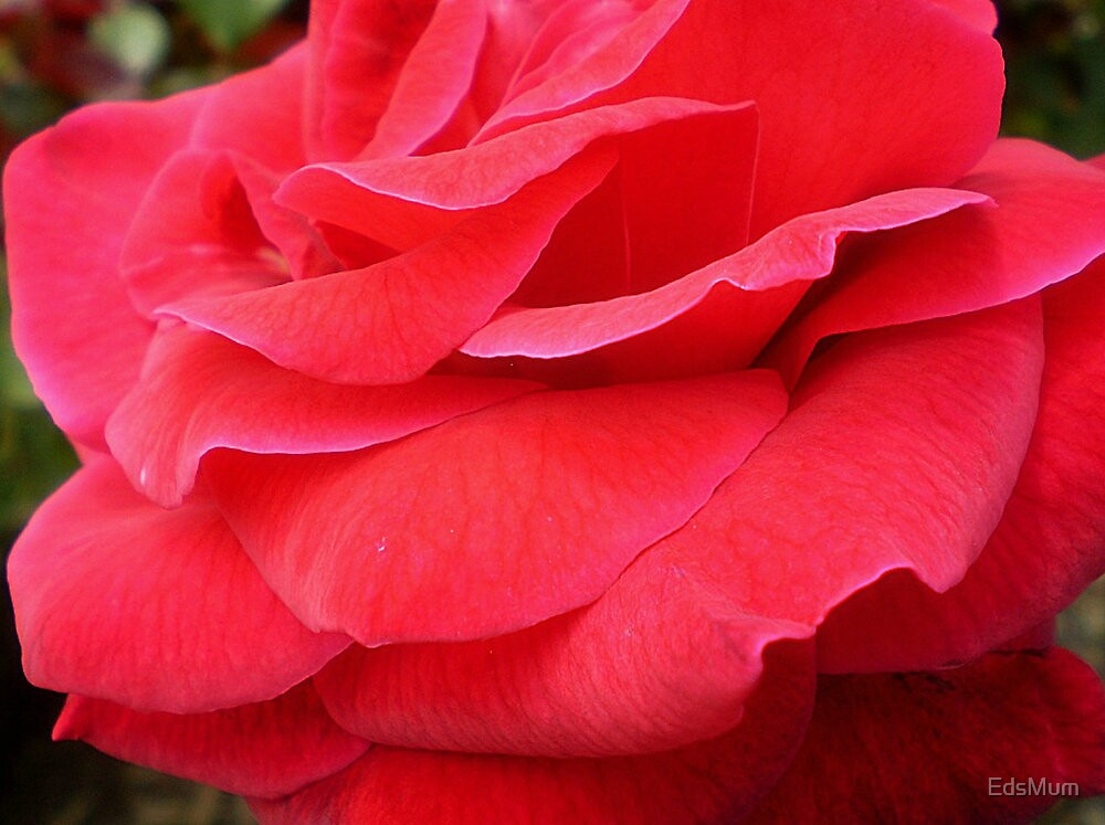 *Gentle folds of Mr. Lincoln Rose* by EdsMum