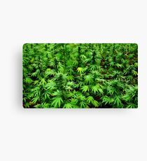 Marijuana (Weed) Canvas Print