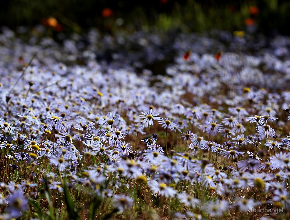 Namaqualand daisies by fourthangel