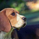 Beagle Days by Josie Eldred