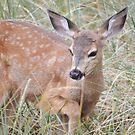 Mule deer fawn by Kate Farkas