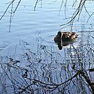 Lone Duck by Fizzgig7