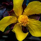 Hibbertia dentata. by Bette Devine