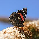 Butterfly on Buddleia  by Pippa Carvell