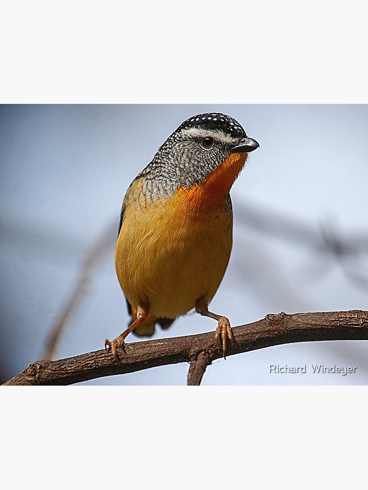 Spotted Pardalote by RICHARDW