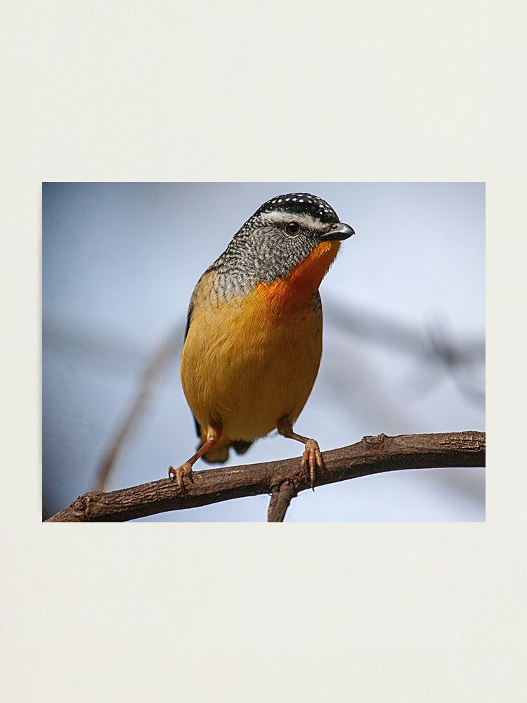 Alternate view of Spotted Pardalote Photographic Print