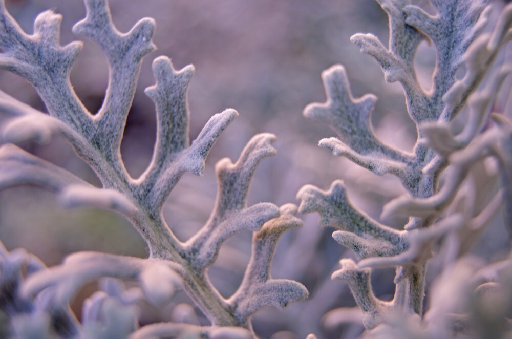 Dusty Miller by photojeanic