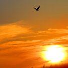 Eagle flies at dawn by Alex Call