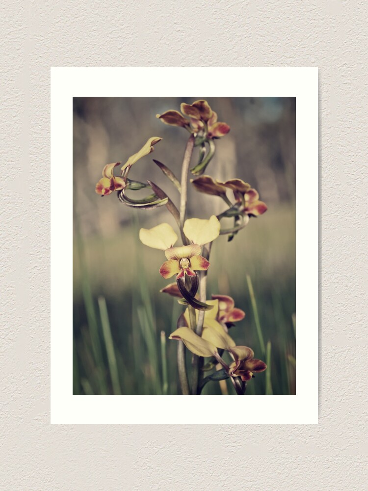 Alternate view of Rosy-cheeked Donkey Orchid Art Print