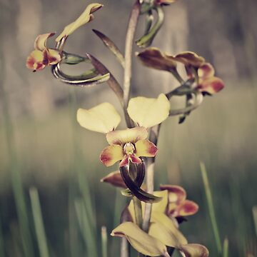 Rosy-cheeked Donkey Orchid by AmyesPhotograph